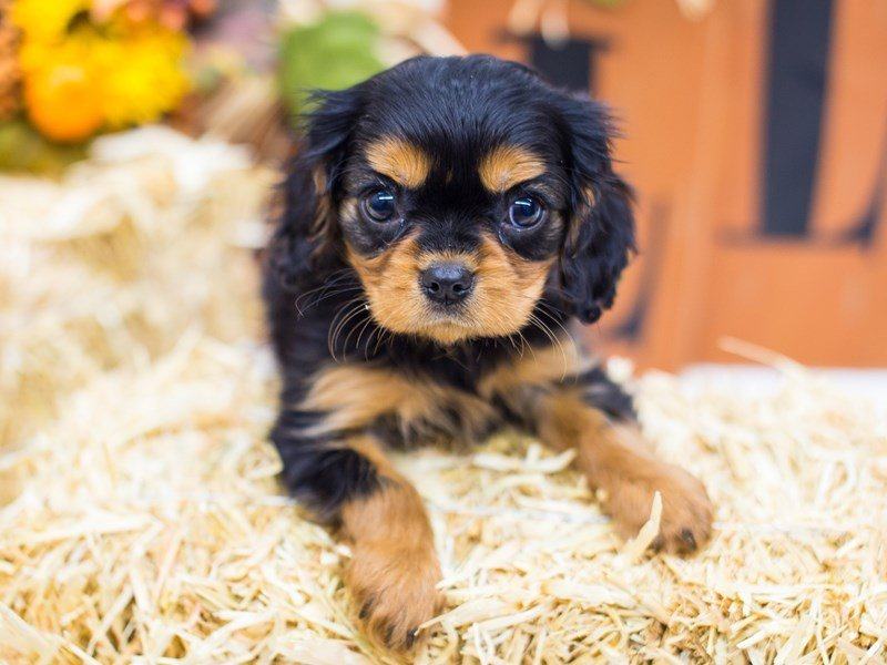 Cavalier King Charles Spaniel-Female--2476967-Petland Wichita, KS