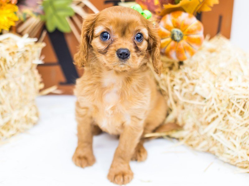 Cavalier King Charles Spaniel-DOG-Female-Ruby-2476960-Petland Wichita, KS