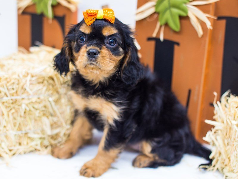 Cavalier King Charles Spaniel-Female-Black & Tan-2476958-Petland Wichita, KS