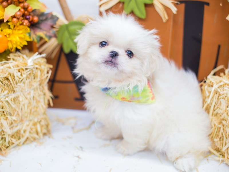 Pekingese-Male-Cream & White-2476944-Petland Wichita, KS