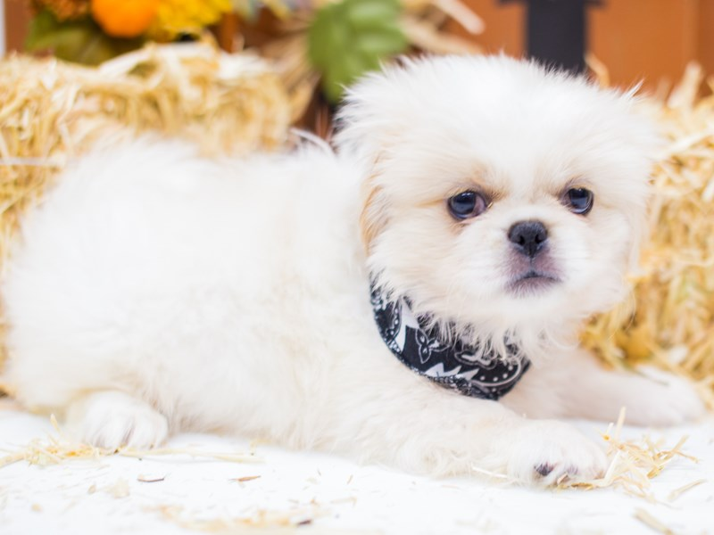 Pekingese-DOG-Male-Cream & White-2476943-Petland Wichita, KS