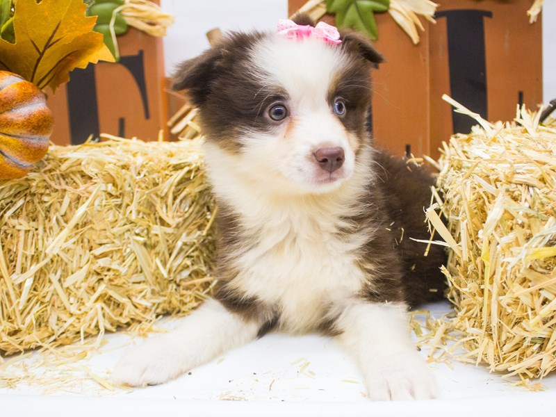 Miniature Australian Shepherd-DOG-Female-Red Tri Bi Eye-2499063-Petland Wichita, KS