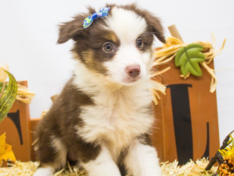 Miniature Australian Shepherd-DOG-Female-Red Tri-2499058-Petland Wichita, KS