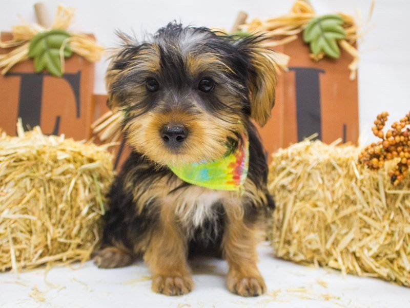 Morkie-Male-Black and Tan-2498976-Petland Wichita, KS