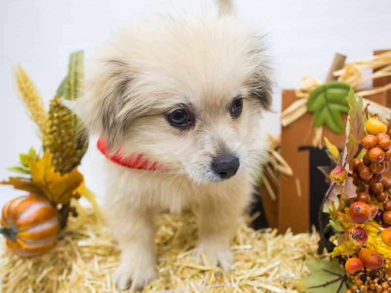 Peke Pom-Male-Fluffy Light Sable-2498936-Petland Wichita, KS