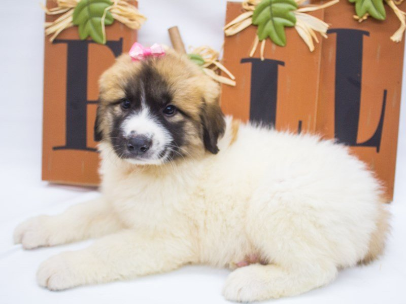 Anatolian Pyrenees-DOG-Female-Parti Sable-2498812-Petland Wichita, KS