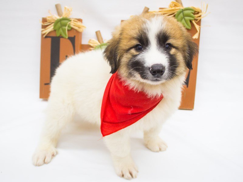 Anatolian Pyrenees-DOG-Male-Sable Parti-2498805-Petland Wichita, KS