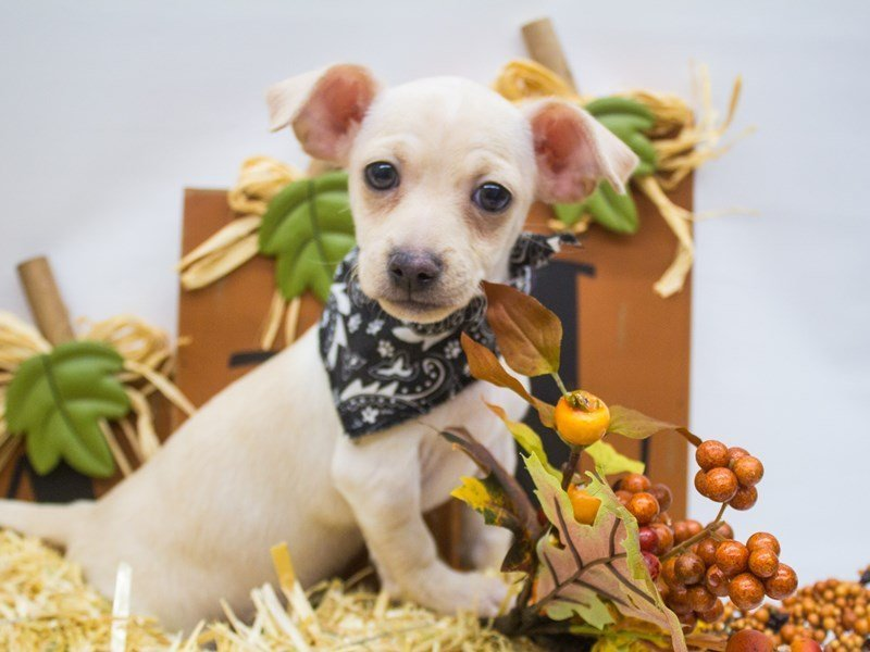 Chihuahua-Male-Cream-2498780-Petland Wichita, KS