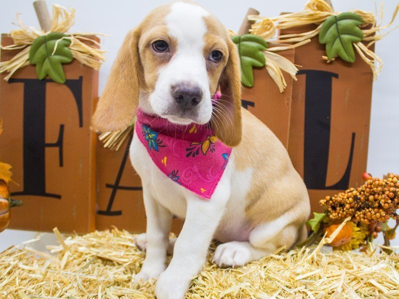 Beagle-Female-Lemon & White-2505115-Petland Wichita, KS
