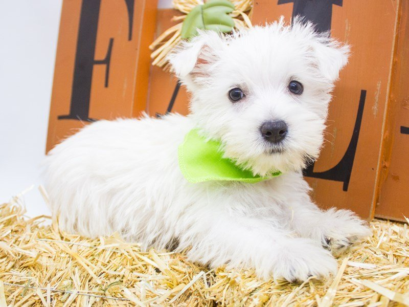 West Highland White Terrier-DOG-Male-White-2505139-Petland Wichita, KS