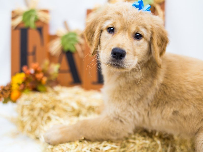 Golden Retriever-Female-Golden-2511970-Petland Wichita, KS