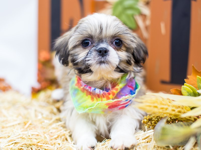 Shih Tzu-DOG-Male-Gold and White-2511938-Petland Wichita, KS