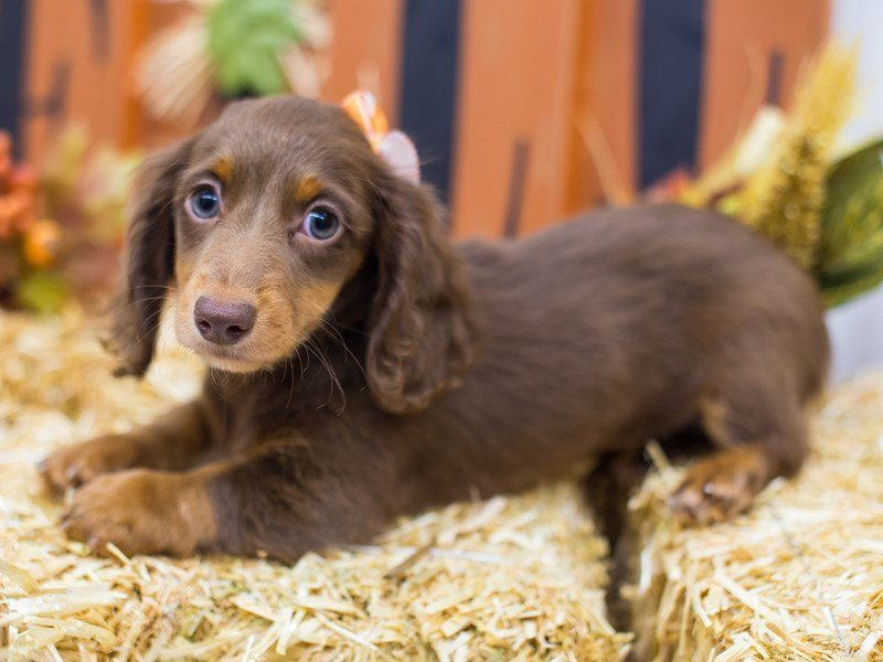 Miniature Dachshund-Female-Long Hair Chocolate & Tan-2511924-Petland Wichita, KS