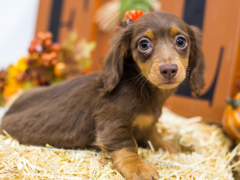 Miniature Dachshund-Female-Long Hair Chocolate & Tan-2511921-Petland Wichita, KS
