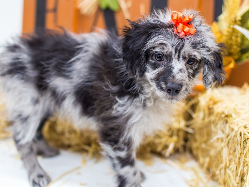 Miniature Aussiedoodle-Female-Blue Merle-2511868-Petland Wichita, KS