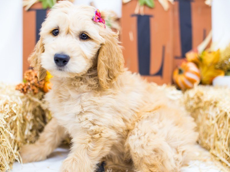 Goldendoodle-Female-Golden-2511841-Petland Wichita, KS
