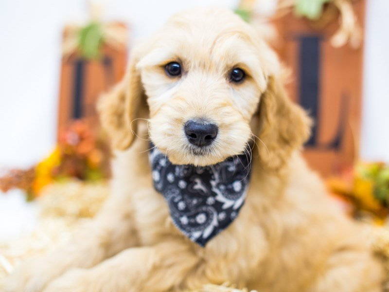 Goldendoodle-Male-Golden-2511837-Petland Wichita, KS