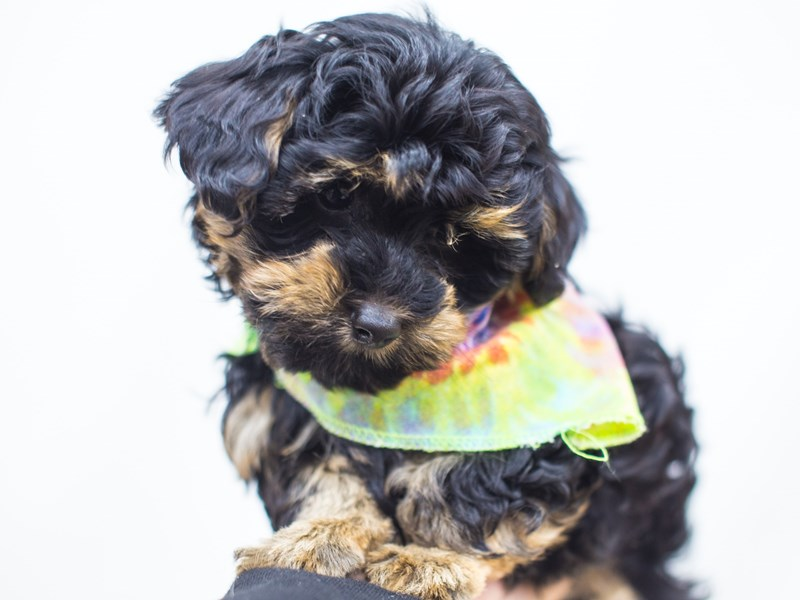 Yorkie Poo-Male-Black and Tan-2511400-Petland Wichita, KS