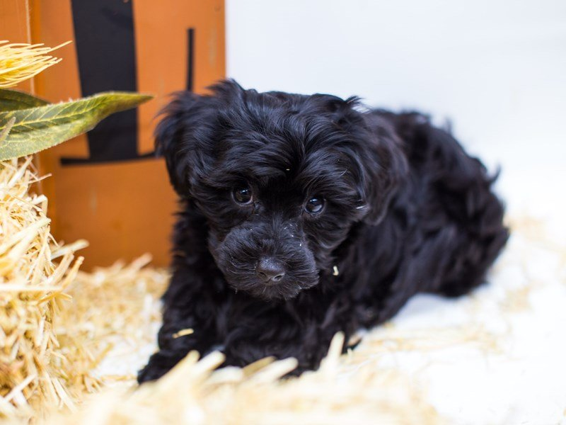 Yorkie Poo-Male-Black-2511399-Petland Wichita, KS