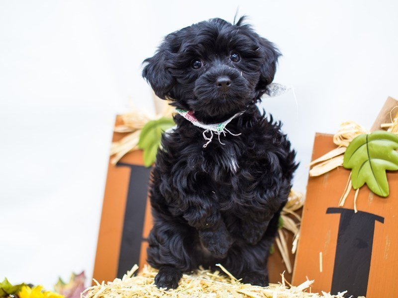 Yorkie Poo-Male-Black-2511395-Petland Wichita, KS