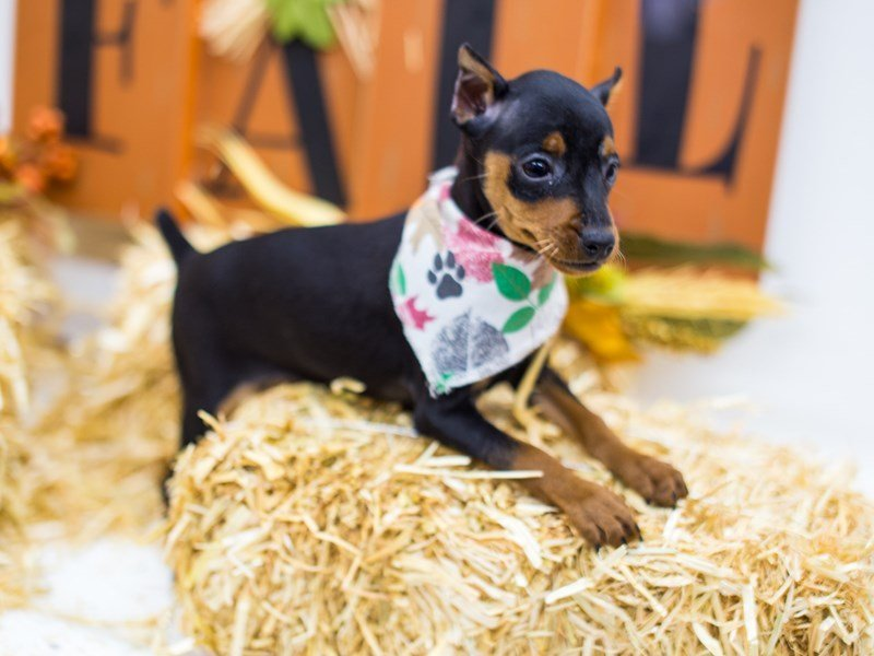 Miniature Pinscher-Male-Black & Tan-2518888-Petland Wichita, KS