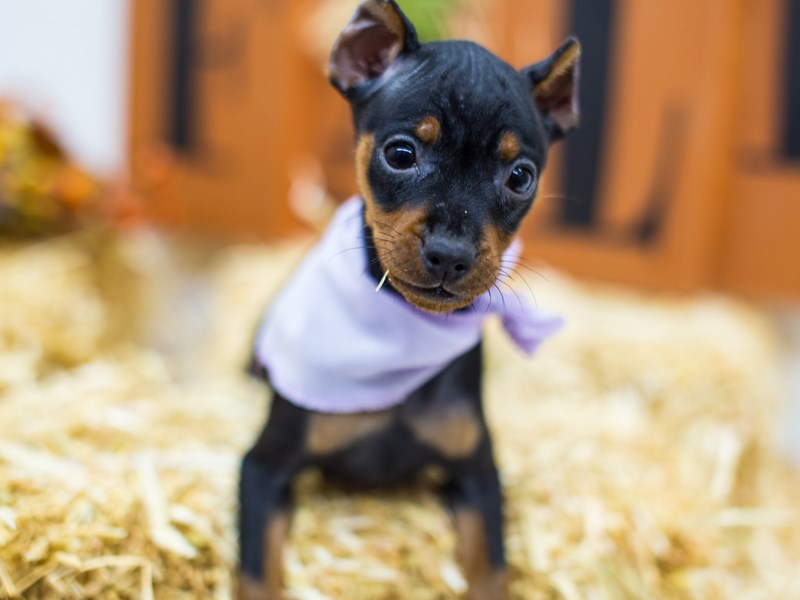 Miniature Pinscher-Female-Black & Tan-2518869-Petland Wichita, KS