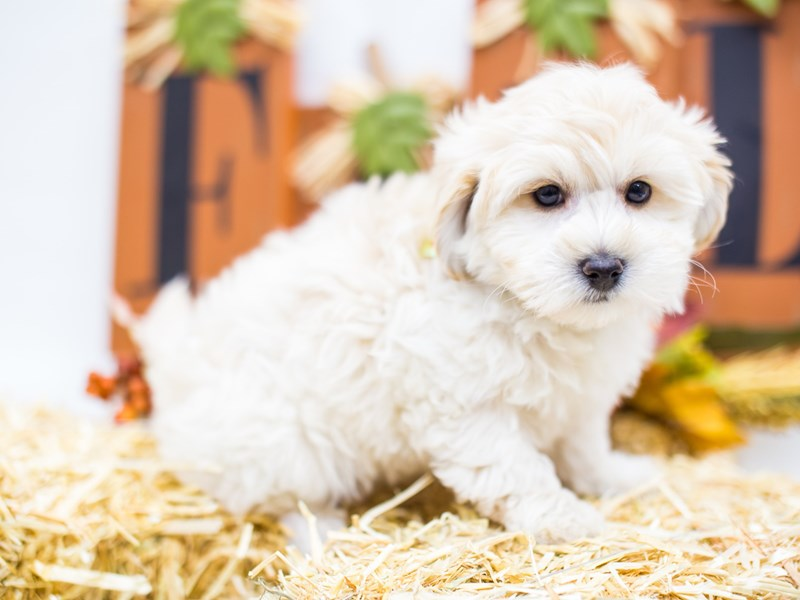 Hava Poo-DOG-Male-Cream-2518759-Petland Wichita, KS