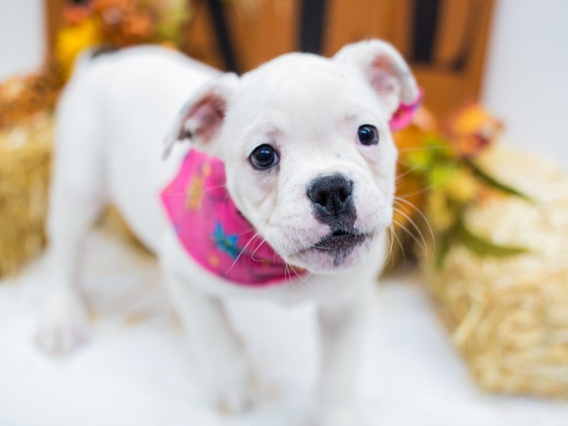 Old English Bulldog-Female-White-2511033-Petland Wichita, KS