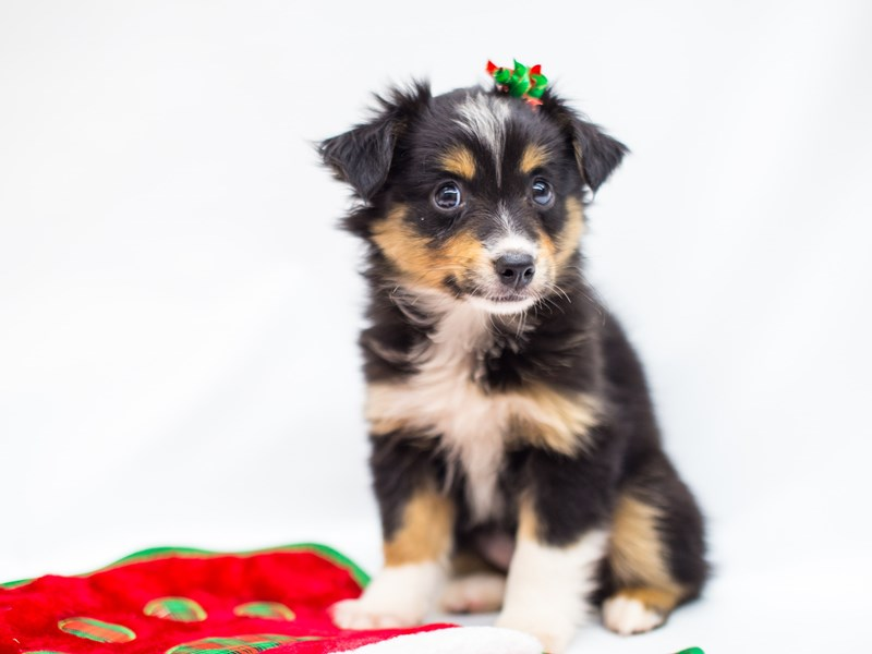 Toy Australian Shepherd-DOG-Female-Black Tri-2525692-Petland Wichita, KS