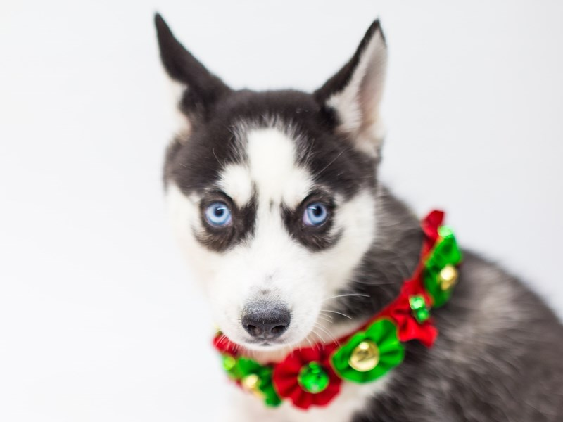Siberian Husky-Female-Black & White-2525516-Petland Wichita, KS