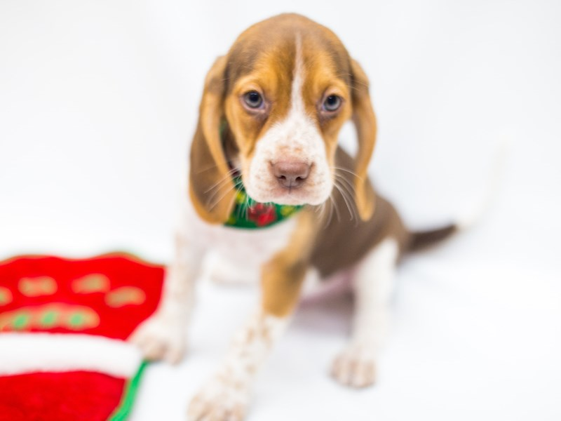Beagle-DOG-Male-Chocolate Tri Color-2525315-Petland Wichita, KS