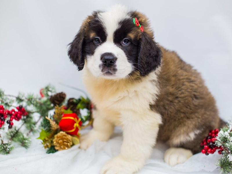 Saint Bernard-Female-Brown & White-2531208-Petland Wichita, KS