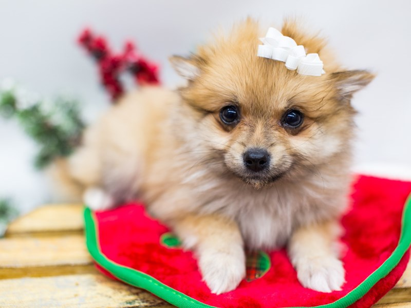 Pomeranian-DOG-Female-Sable-2532559-Petland Wichita, KS