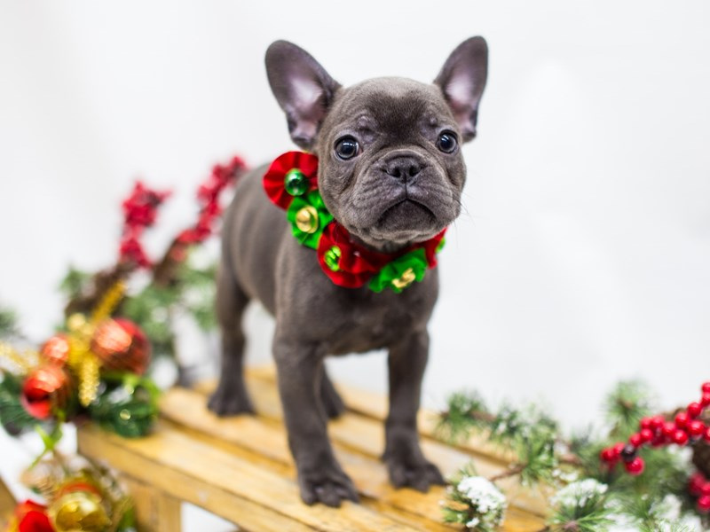 French Bulldog-DOG-Female-Blue-2539893-Petland Wichita, KS
