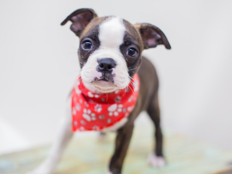 Boston Terrier-Male-Brindle & White-2453191-Petland Wichita, KS