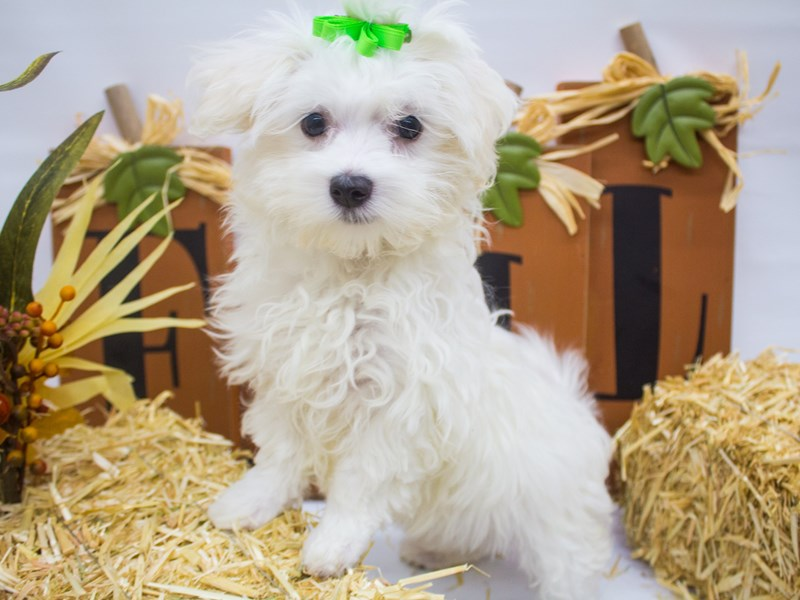 Maltese-Female-White-2498989-Petland Wichita, KS