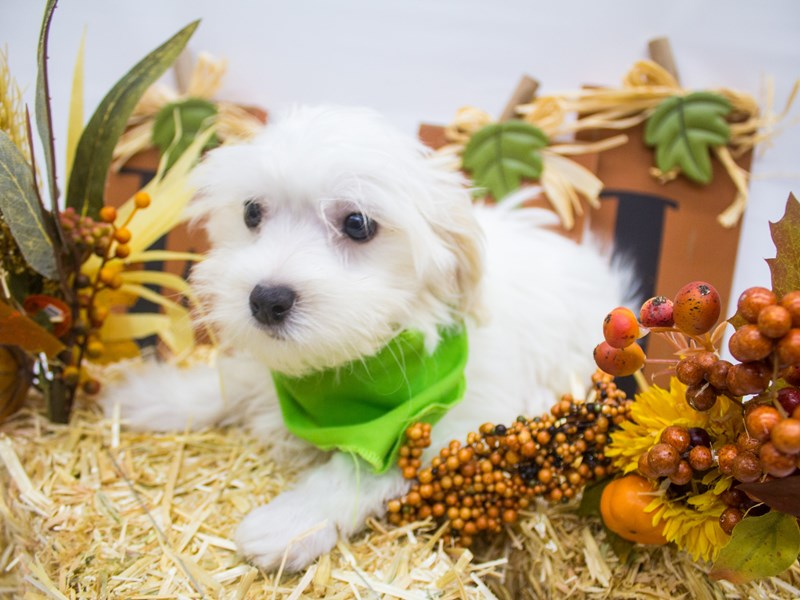 Malti Poo-Male-White w/ Cream Ears-2498980-Petland Wichita, KS
