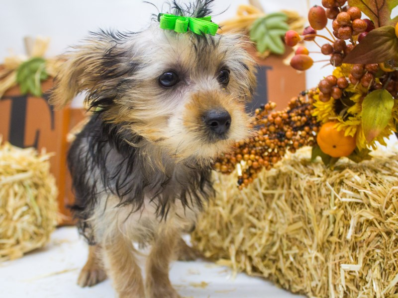 Morkie-Female-Black and Tan-2498979-Petland Wichita, KS