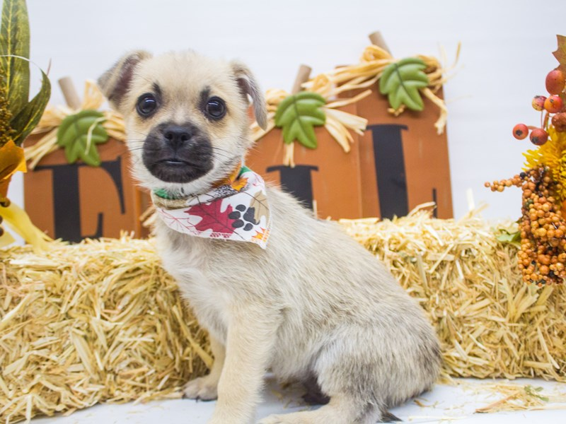Peke Pom-DOG-Male-Fawn w/ Black Mask-2498943-Petland Wichita, KS
