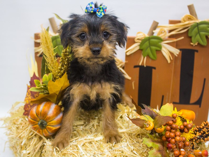 Yorkshire Terrier-Female-Black and Tan-2497664-Petland Wichita, KS