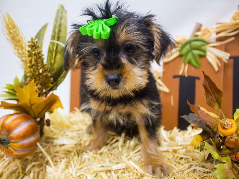 Yorkshire Terrier-Female-Black and Tan-2497651-Petland Wichita, KS