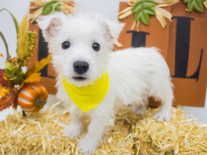 West Highland White Terrier-Male-White-2505132-Petland Wichita, KS