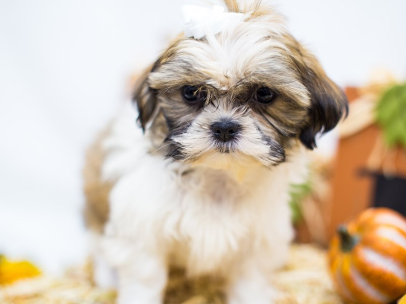 Shih Tzu-Female-Gold and White-2511945-Petland Wichita, KS
