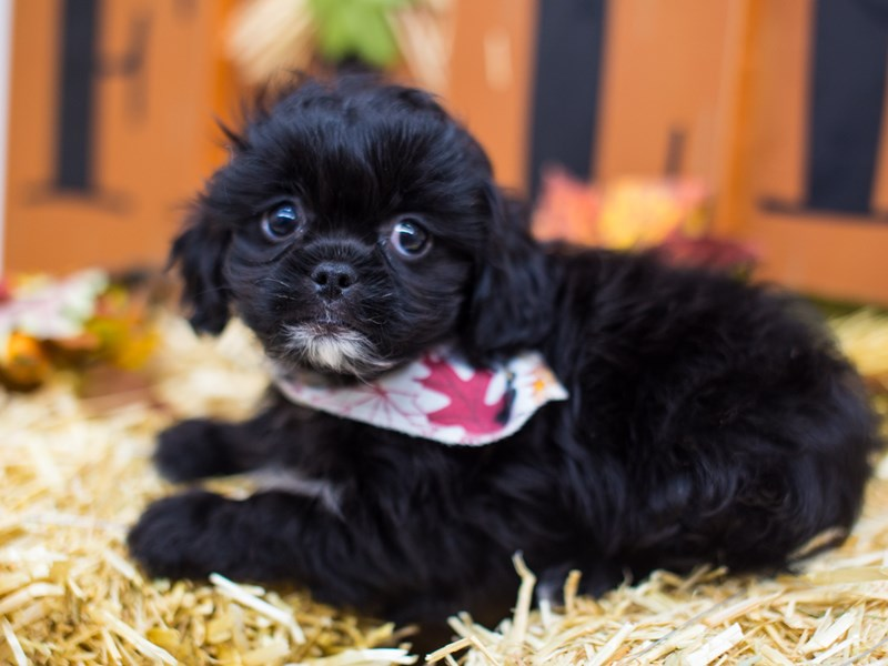 Peke-A-Poo-Male-Black-2518800-Petland Wichita, KS