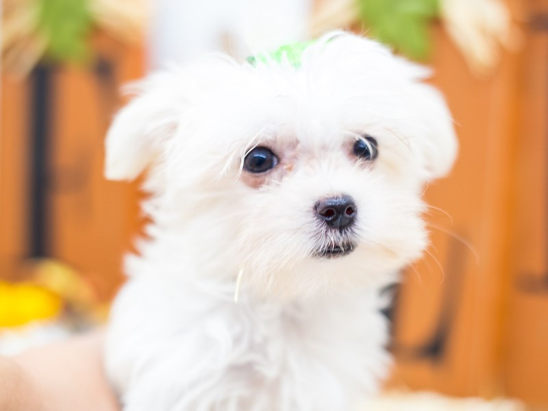 Toy Maltipom-Female-White-2518797-Petland Wichita, KS