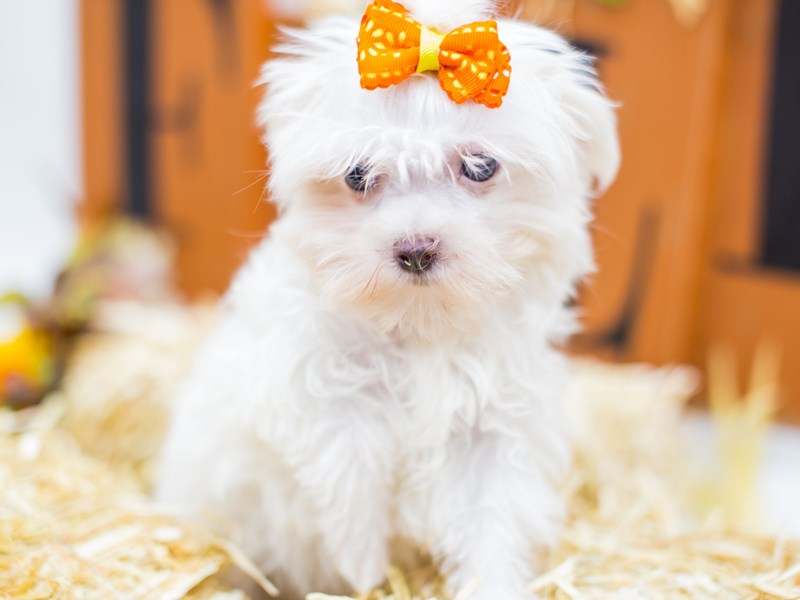 Toy Maltipom-Female-White-2518796-Petland Wichita, KS