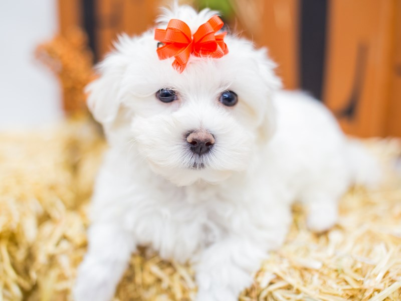 Malti Poo-Female-White-2518784-Petland Wichita, KS