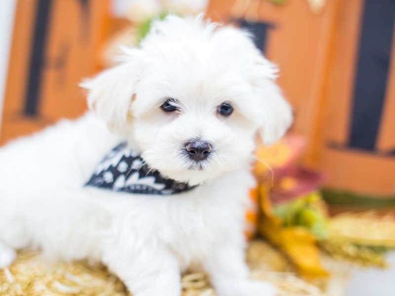 Malti Poo-Male-White-2518771-Petland Wichita, KS