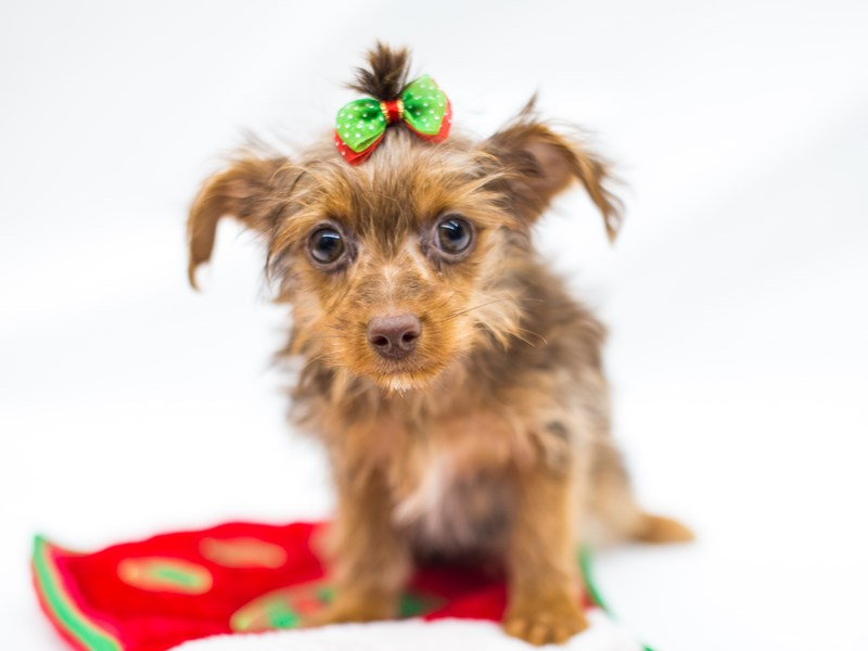 Yorkshire Terrier-DOG-Female-Chocolate and Tan-2525697-Petland Wichita, KS