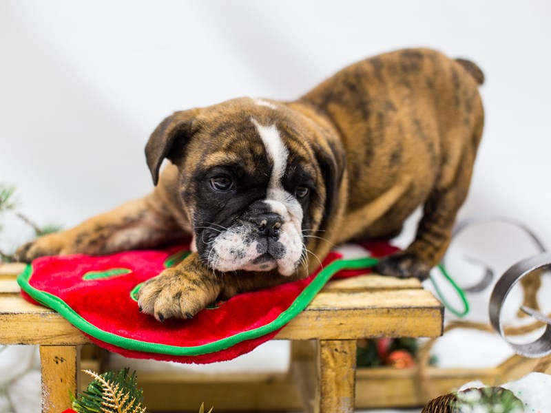 English Bulldog-DOG-Male-Red Brindle-2532457-Petland Wichita, KS